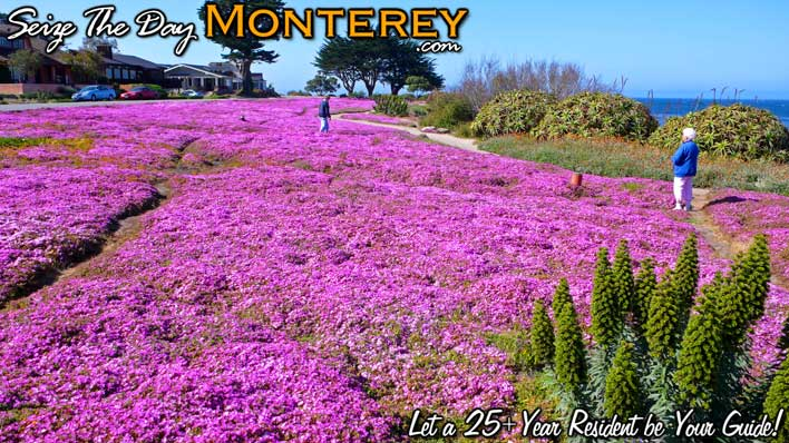 Purple Carpet in Pacific Grove, Monterey Bay right off of Oceanview BLVD